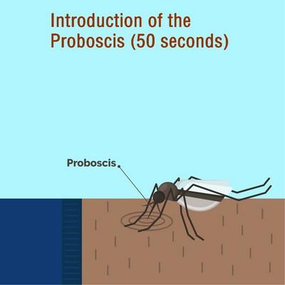 Mosquitoes introduction of the proboscis